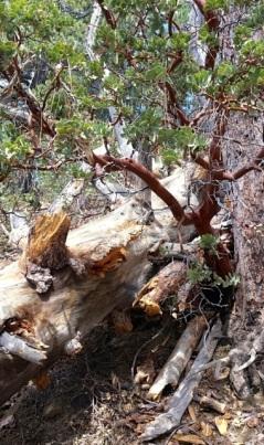 Tree trunks and manzanita form natural artistry along Ernie Maxwell Trail. Photo: Julie Pendray