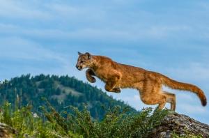 Erin O'Neill's cougar photo