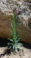 Arabis (common name rockcress), Ernie Maxwell Trail.