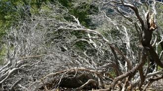 Windswept dead manzanita on Ernie Maxwell Trail. Photo: Julie Pendray